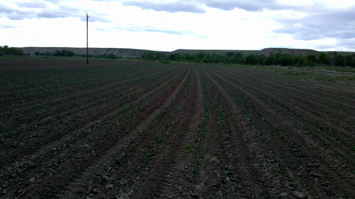 freshly cultivated onions 2012